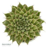 Graptopetalum filiferum - 6cm