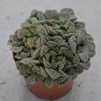 Titanopsis calcarea - 8,5cm