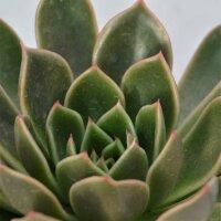 Echeveria Mira - 8,5cm