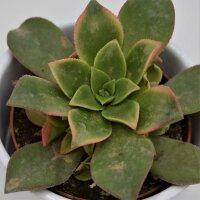 Aeonium Kiwi - 8,5cm