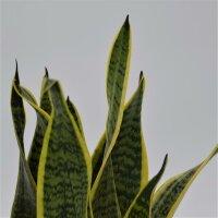 Sansevieria laurentii - 12cm
