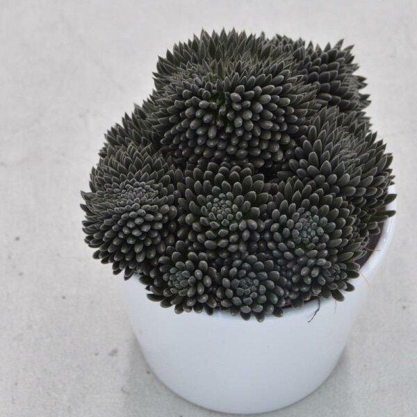 Sinocrassula yunnanensis - 10,5cm