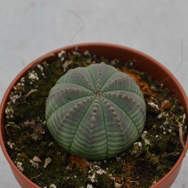 Euphorbia obesa - 8,5cm