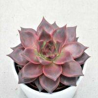 Echeveria agavoides Romeo - 10,5cm