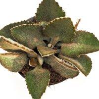 Kalanchoe beharensis - 10,5cm