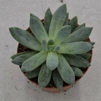 Pachyphytum compactum - 8,5cm
