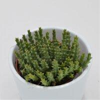 Orbea variegata - 8,5cm