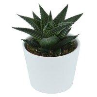 Haworthia limifolia - 6cm