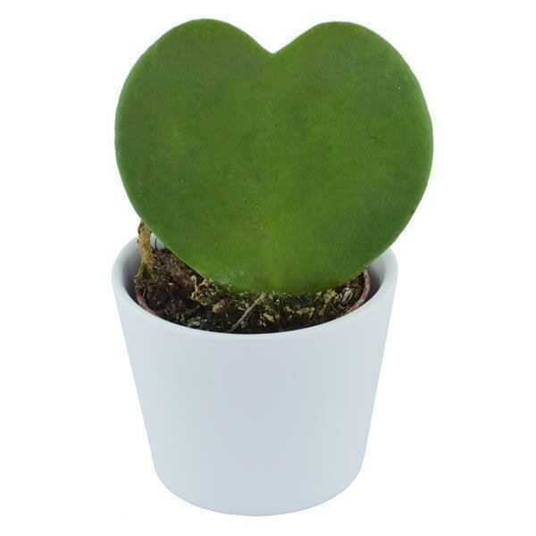 Hoya kerrii - 6cm