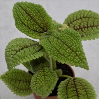 Pilea Moon Valley - 6cm