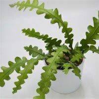 Epiphyllum anguliger - 10,5cm