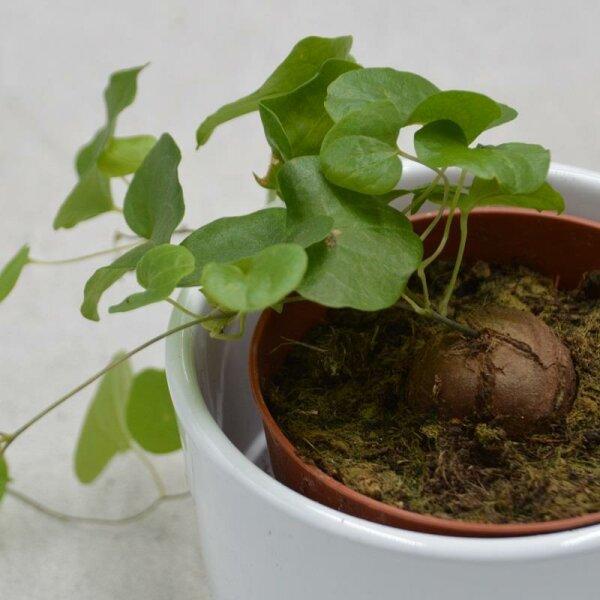 Dioscorea elephantipes - 8,5cm