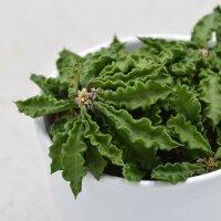 Euphorbia decaryi - 10,5cm