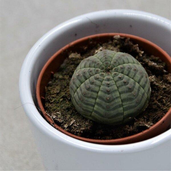 Euphorbia obesa - 5,5cm