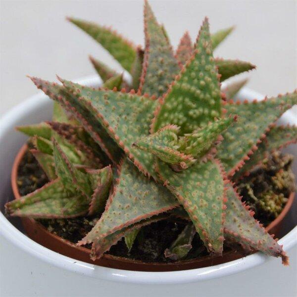 Aloe Red Shade - 8,5cm