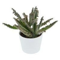 Kalanchoe daigremontiana - 6cm