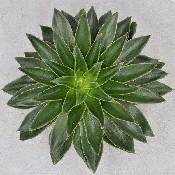 Echeveria Mexicana - 17cm