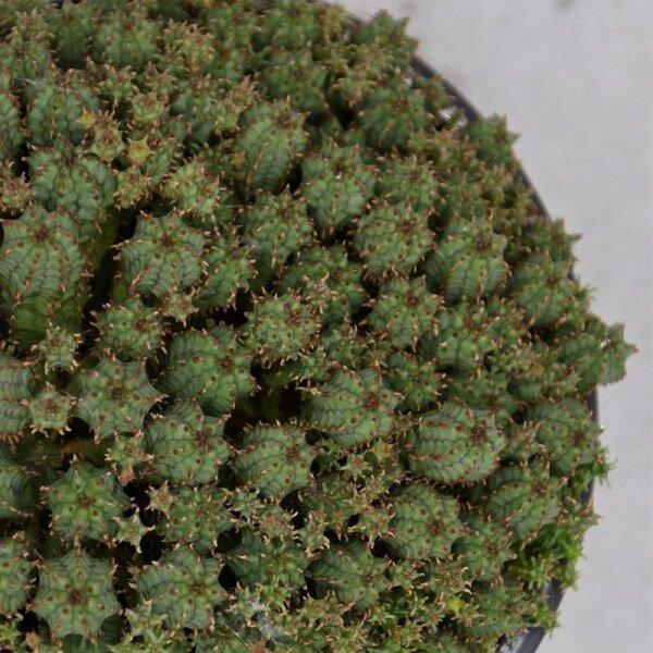 Euphorbia cristata - 13cm