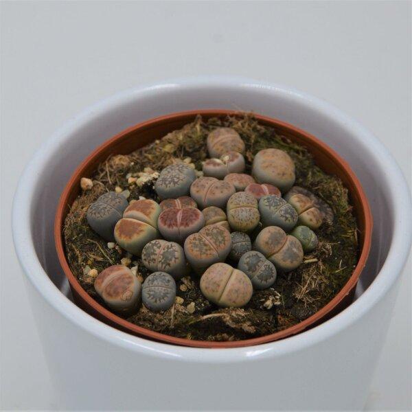 Lithops ssp. - 8,5cm