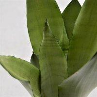 Sansevieria Moonshine - 12cm