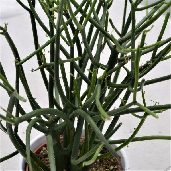 Euphorbia tirucalli - 12cm