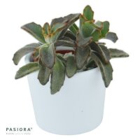 Kalanchoe tomentosa Chocolate Soldier - 6cm