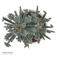 Kalanchoe tubiflora - 6cm