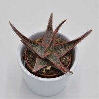 Aloe Red Shade - 6cm
