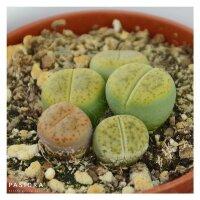 Lithops ssp. - 5,5cm