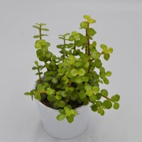 Portulacaria afra Lemon - 10,5cm