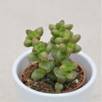 Crassula brevifolia - 5,5cm