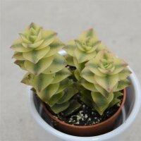 Crassula perforata variegata - 5,5cm