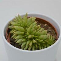 Echeveria agavoides var. corderoyi f. cristata - 10,5cm