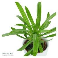 Pachypodium lamerei - 6cm