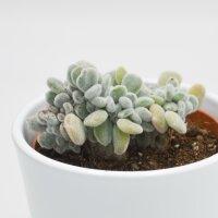 Echeveria pulvinata Frosty f. cristata - 9cm