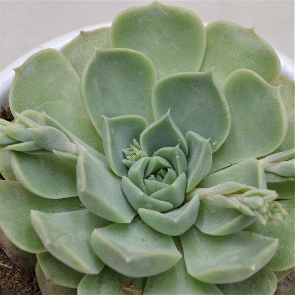 Echeveria hyalina - 9cm