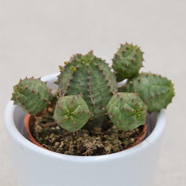 Euphorbia obesa Monstruoza - 5,5cm