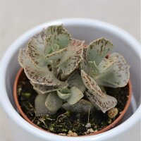 Kalanchoe rhombopilosa - 5,5cm