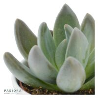 x Pachyveria Blue Mist - 5,5cm
