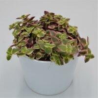 Crassula pellucida ssp. marginalis - 12cm