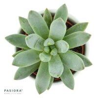 Pachyphytum compactum - 5,5cm
