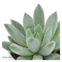 x Pachyveria Bea - 5,5cm