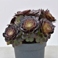 Aeonium arboreum Velours - 17cm