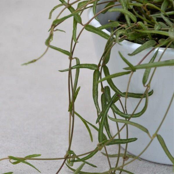 Ceropegia linearis ssp. debilis - 8cm
