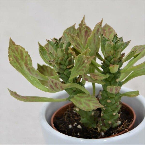 Euphorbia neostapelioides - 5,5cm