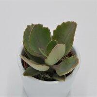 Kalanchoe peteri - 5,5cm