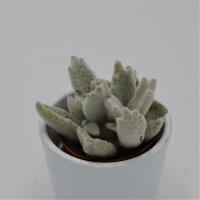 Kalanchoe eriophylla - 5,5cm