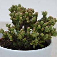 Euphorbia enopla f. cristata Coral - 10,5cm