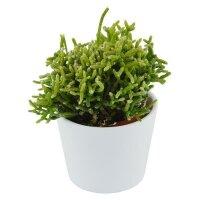 Rhipsalis cereuscula - 6cm