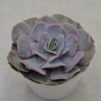 Echeveria pollux - 12cm
